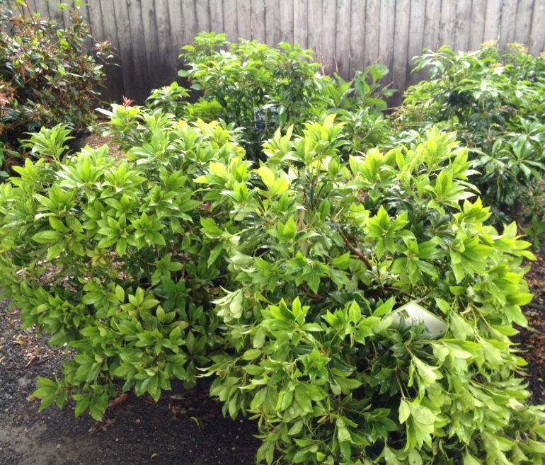 Broadleaf evergreen shrub - dense and grows upright. Deer seem not to like!