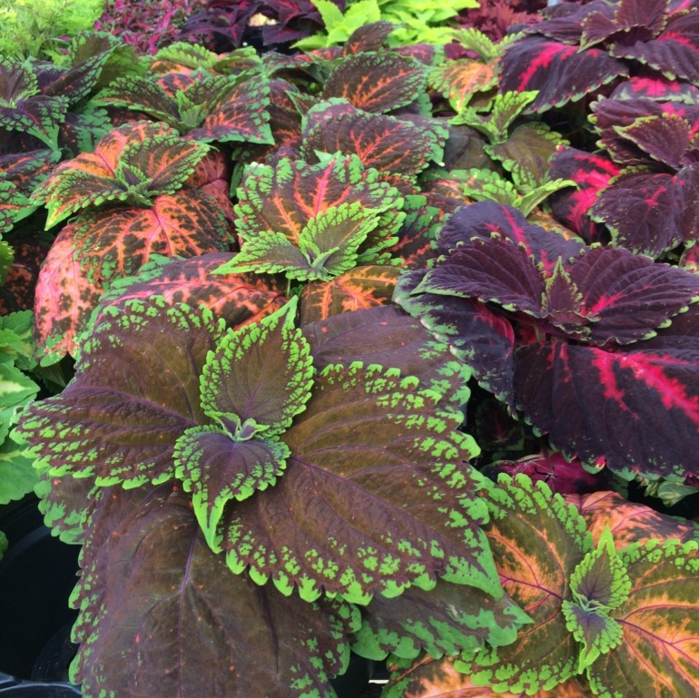 Coleus - color With Crayons Series