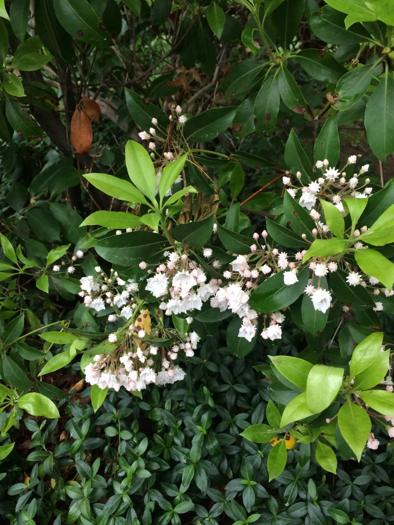 Mountain-laurel Bush. Did you know they are close relatives to the Azaleas and rhododendrons. Perfect for our Dad Garden.