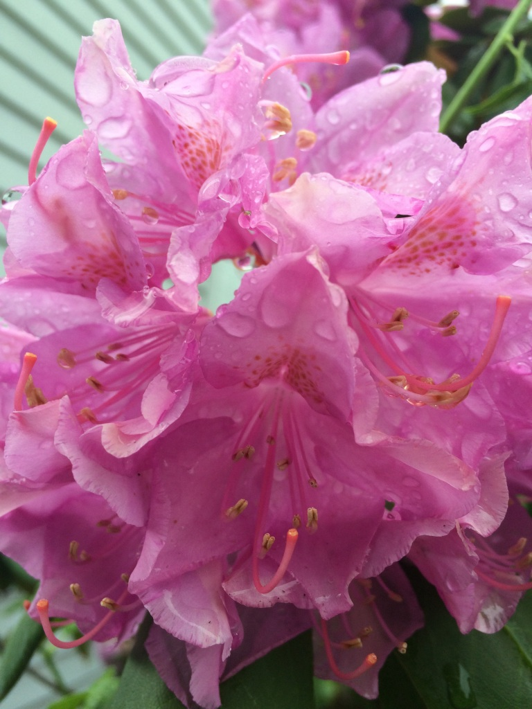 Rhododendrons clustersof flower a rain shower