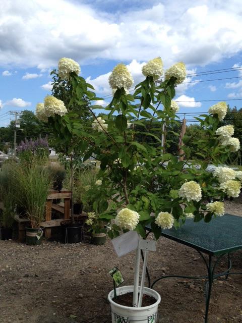 Hydrangeas – Inspiring My GardenWorld