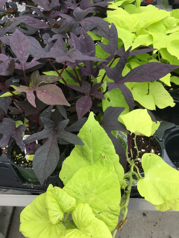 Interesting Trailing Vines and AccentPlants