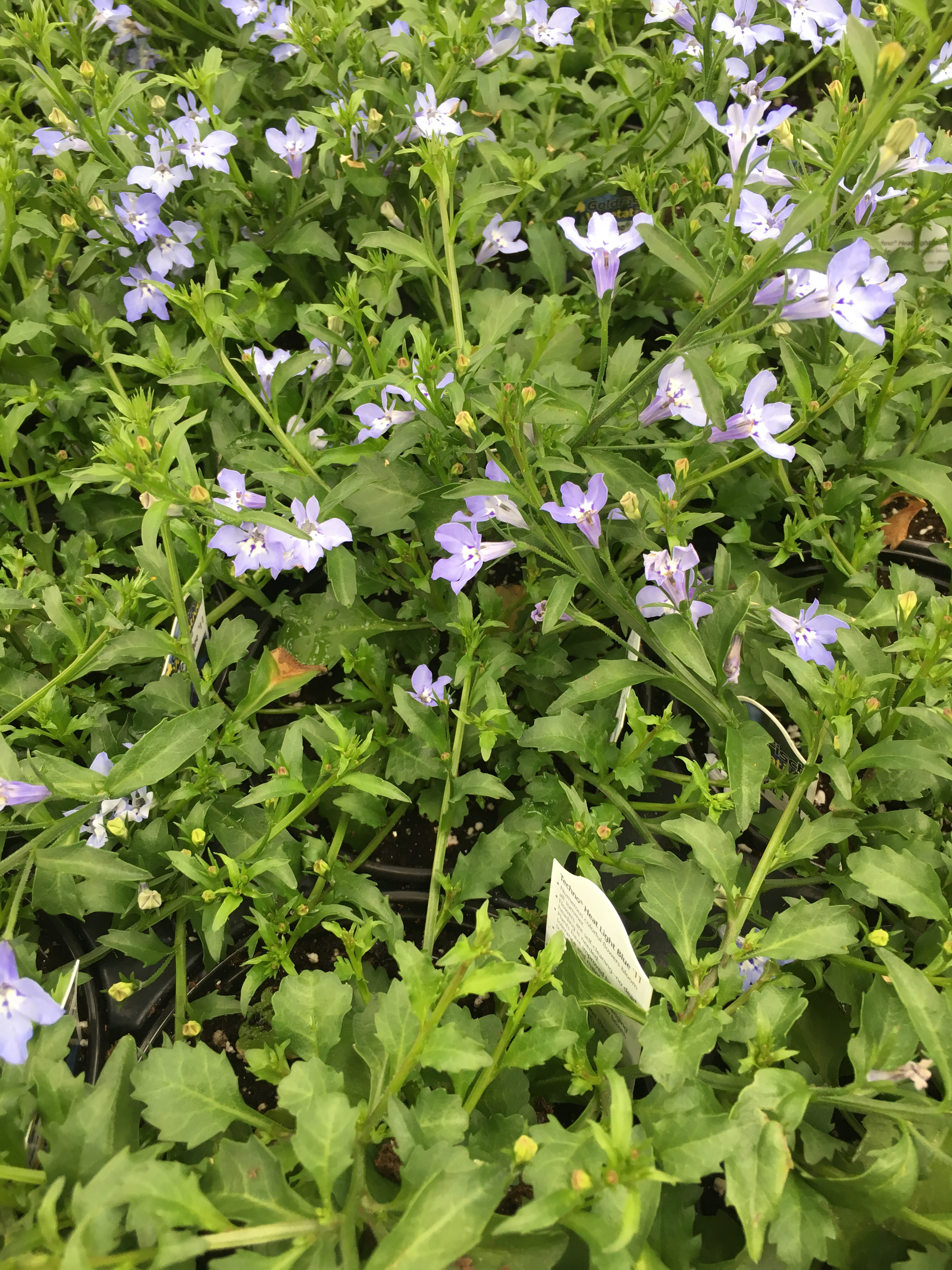 Interesting trailing vines and accent plants larsons garden center techno heat light blue 11 lobelia numerous colorful flowers bloom all summer flowers are self cleaning no deadheading is needed plants have improved izmirmasajfo Images